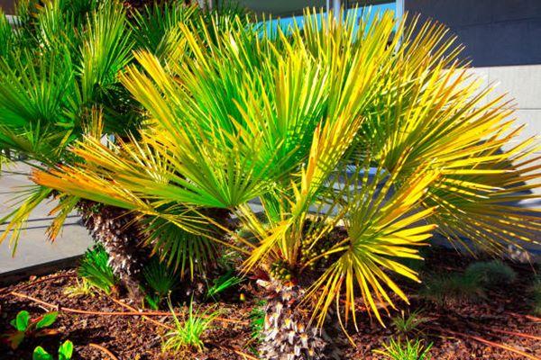 Needle Palm (Rhapidophyllum hystrix))
