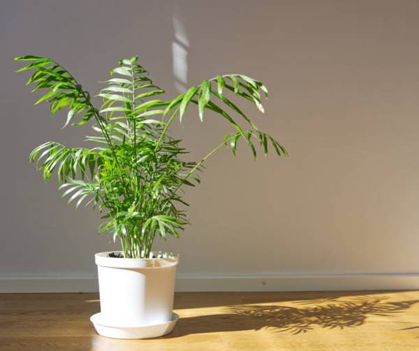 Potted Parlor palm