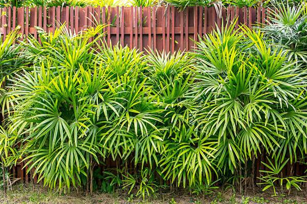 lady palm or bamboo palm