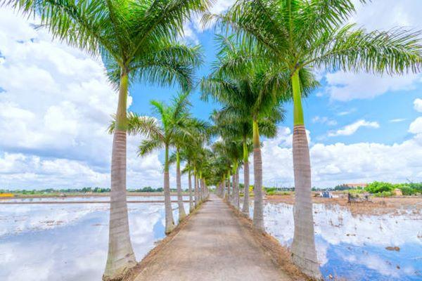 Florida Royal Palm or Cuban Royal Palm trees