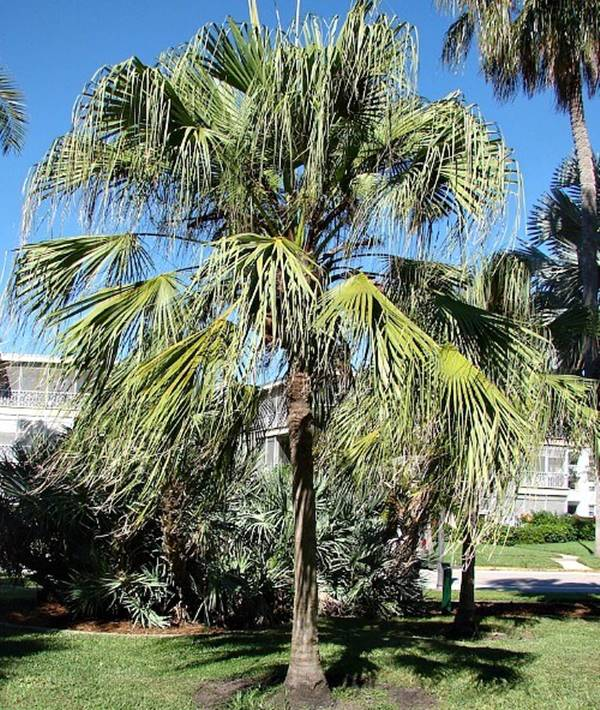ribbon fan palm in florida