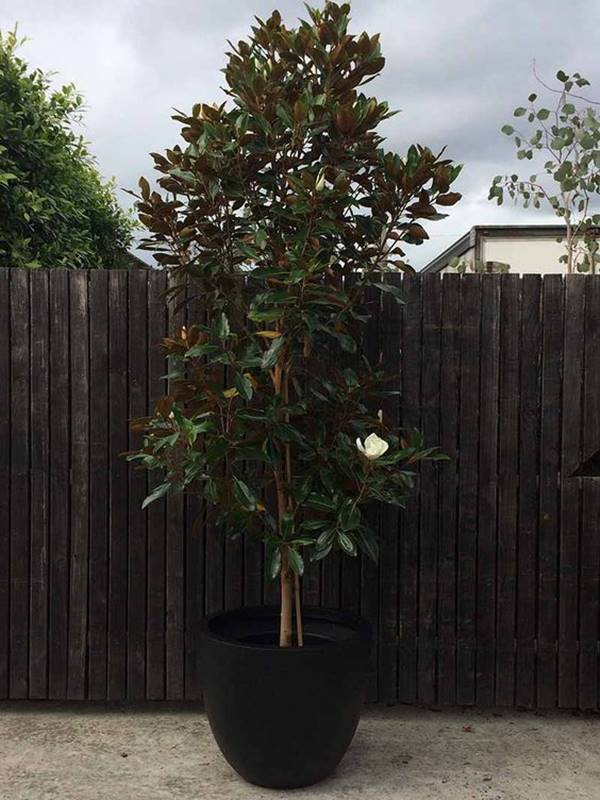 Southern Magnolia tree in a pot