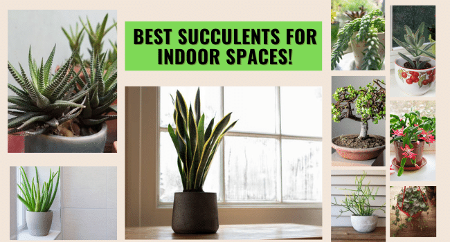succulents for indoor space