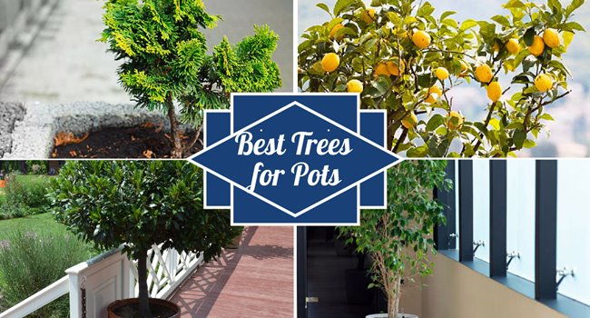 Best trees for pots