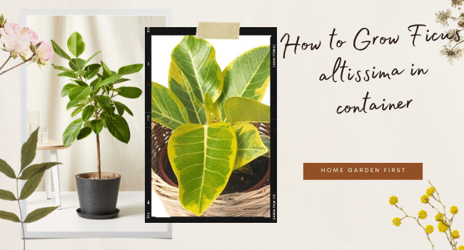 How to Grow Ficus altissima in container