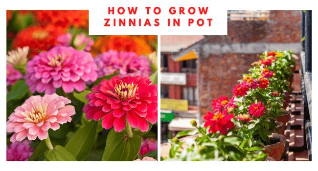 Growing zinnias in pot
