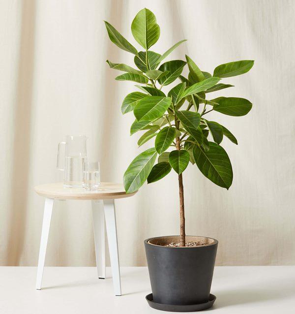 ficus altissima indoors in container