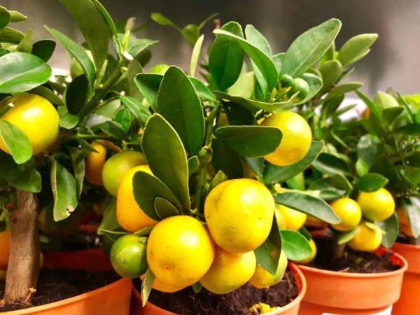 lemon tree with lemons in a pot