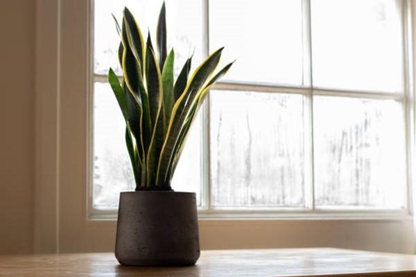 snake plant in pot near window