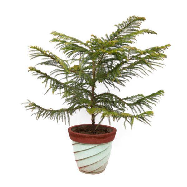 pine tree in a pot