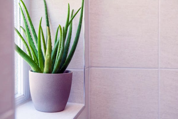 Aloe Vera plant near windowsill in a pot