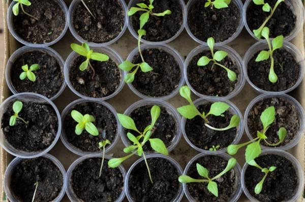 zinnia seedlings in pots