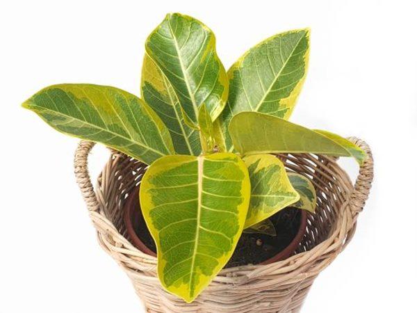 Ficus Altissima in a container