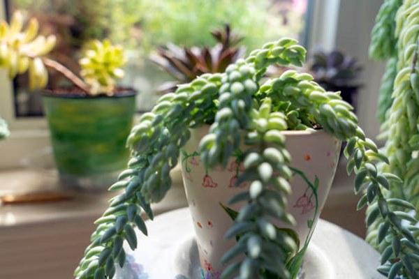 burro's tail succulent in pot indoors