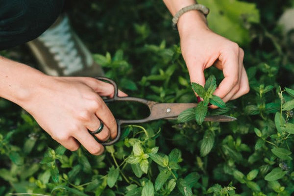 taking mint cutting using scissors