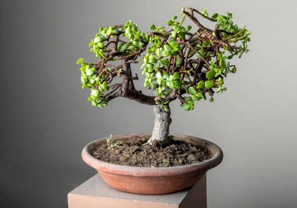 bonsai jade plant in pot