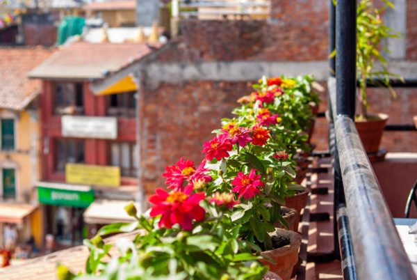 zinnias in pots on balcony