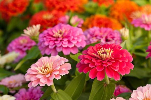 flowering zinnias close-up