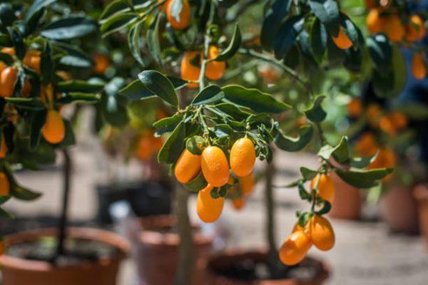 Kumquat tree with Kumquat fruits in container