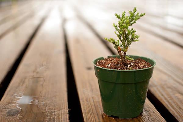 young juniper in a pot