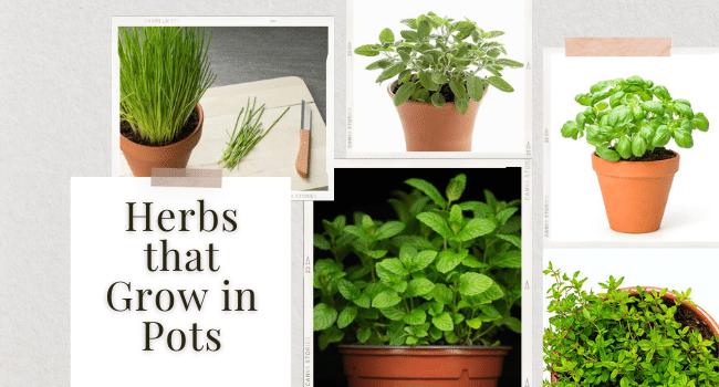 Herbs that Grow in Pots