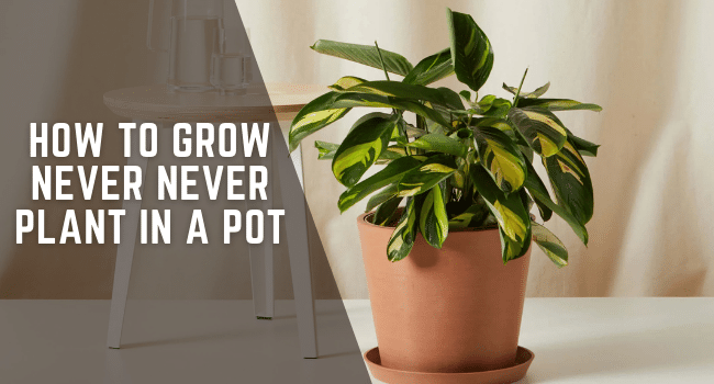 how to grow never never plant in a pot