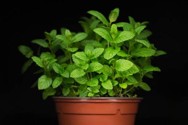 mint herb in a pot