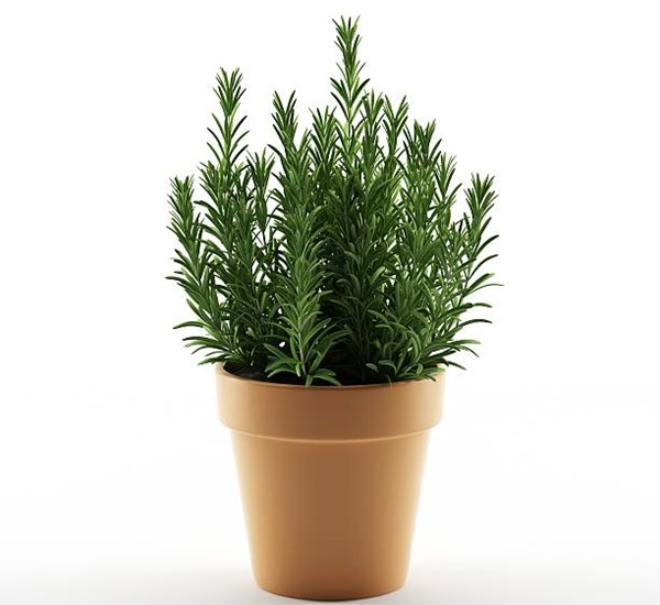 rosemary in a pot
