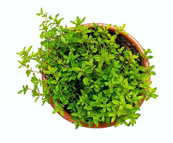 thyme in ceramic pot