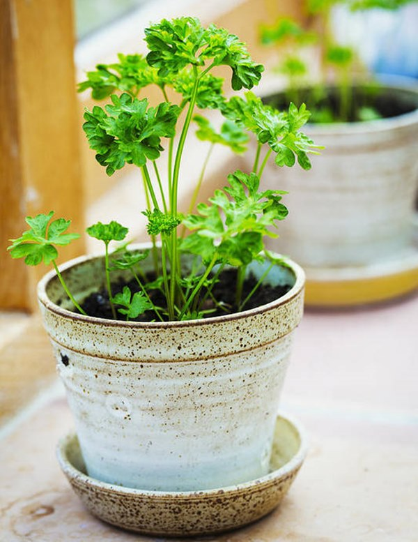 Parsley herb in a pot