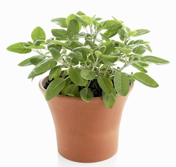 Sage herb in container