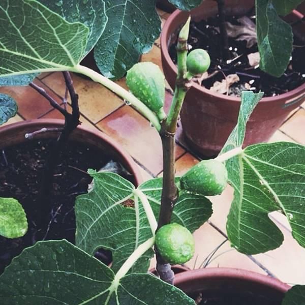 figs fruit in pot