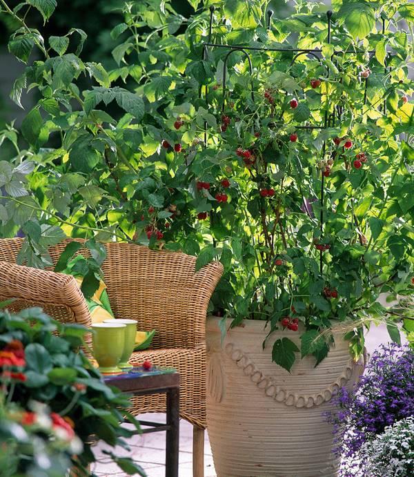 raspberries in pot