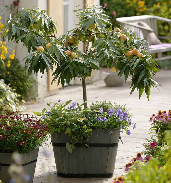 peach tree in pot (with fruits)