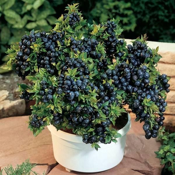 blueberries growing in pot