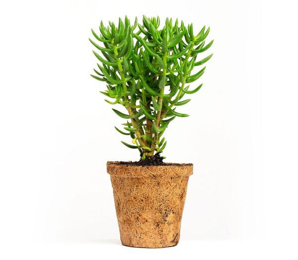 Crassula Tetragona in pot