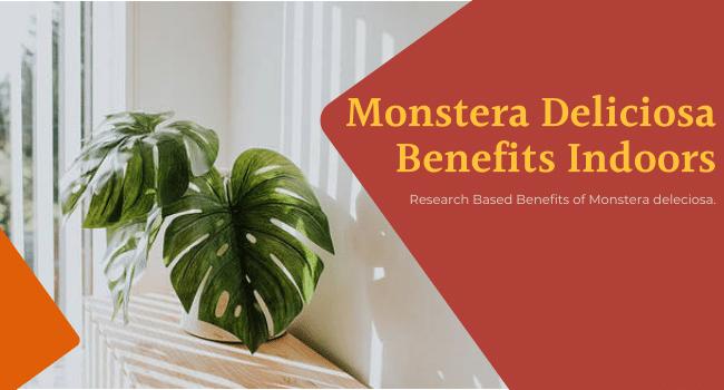 Monstera Deliciosa Benefits