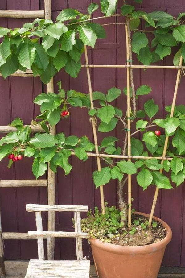 Cherry fruit tree in pot
