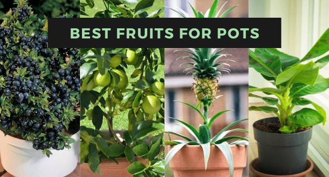 best fruits for pots