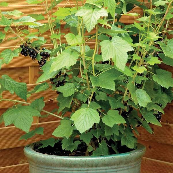 black currants in pot