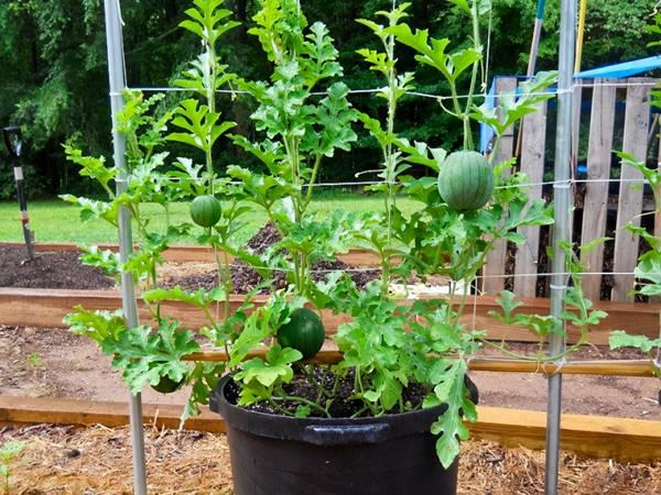 watermelon in pot growing over trellis
