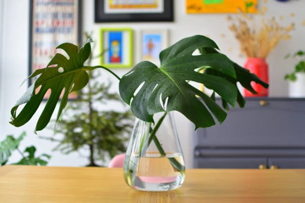 monstera in vase