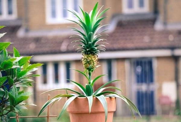 Pineapple fruit in a pot