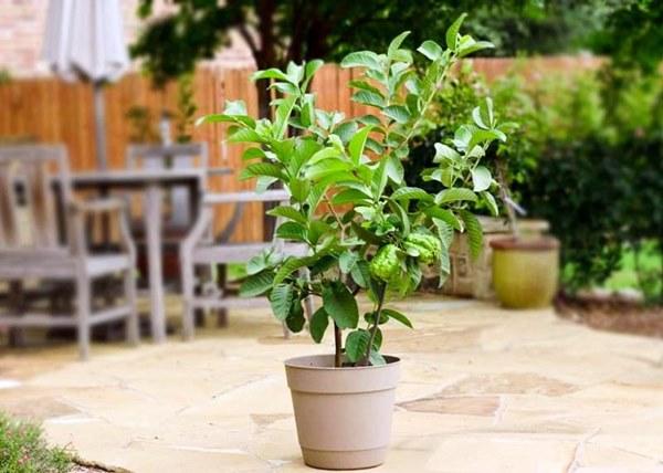 guava fruit tree growing in pot