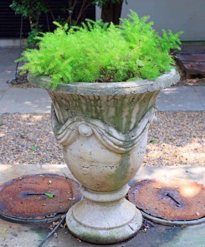 Asparagus fern (Asparagus aethiopicus) in ornamental pot