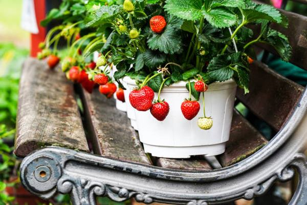 strawberries in pot on bench