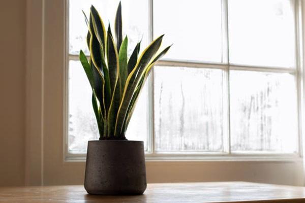 snake plant or Sansevieria trifasciata in pot
