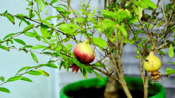 Pomegranate growing in pot