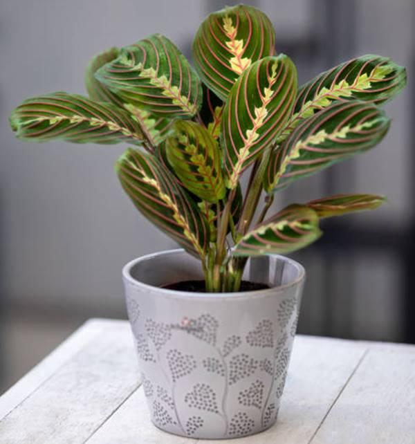 colorful prayer plant in pot