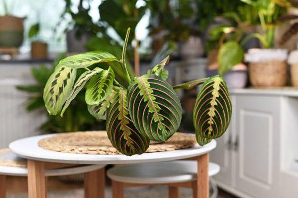 Maranta Leuconeura Fascinator (prayer plant)on coffee table